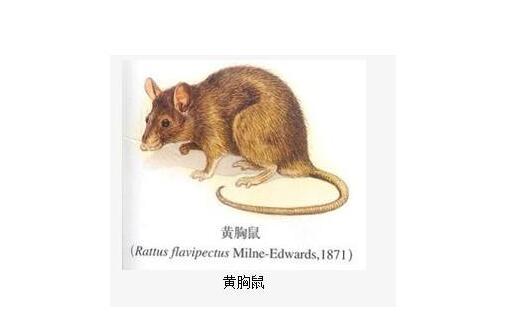 黄胸鼠.jpg